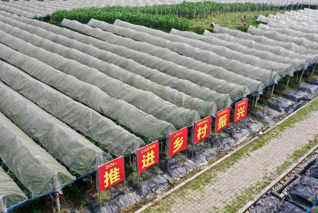 廣西東蘭:葡萄夏初管護忙