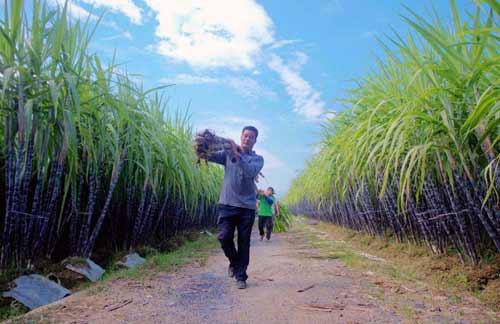 玉林:特色農業鼓起農民錢袋子
